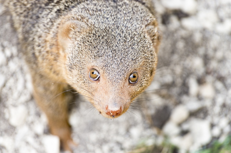 Dwarf mongoose, ZSL London Zoo, 2016