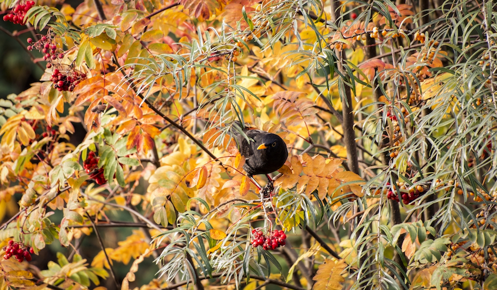 Male Common Black Bird, London, 2016